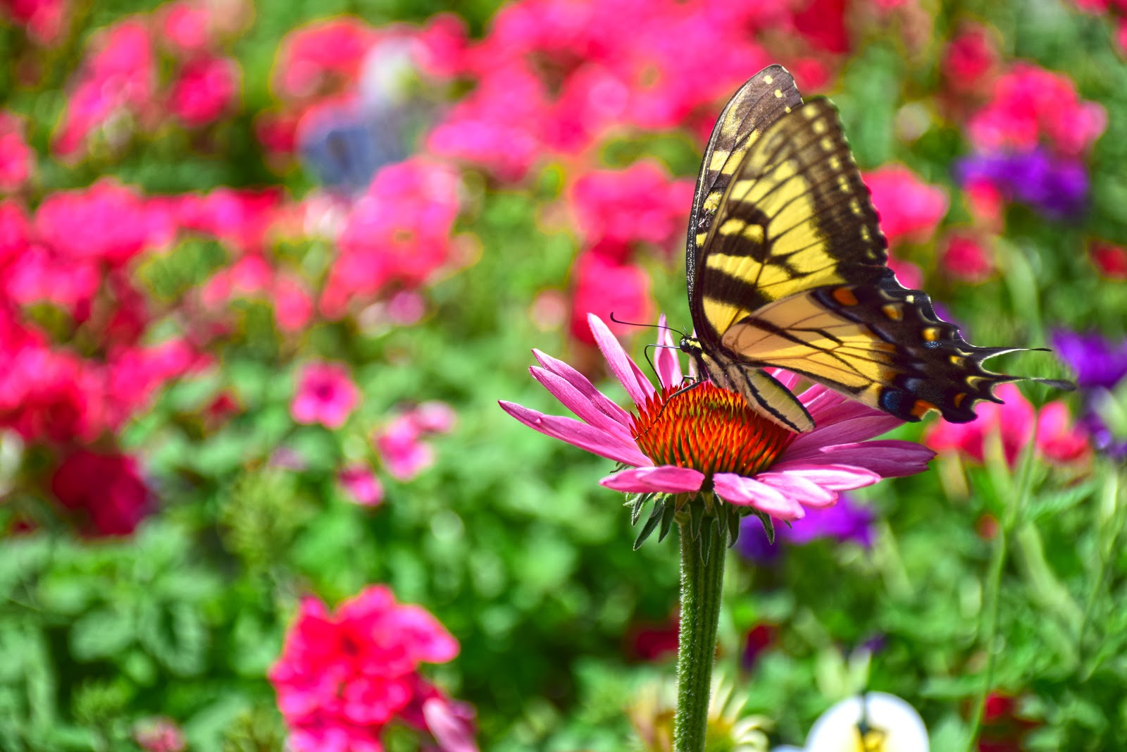 Coneflower and Tiger Swallowtail Butterfly