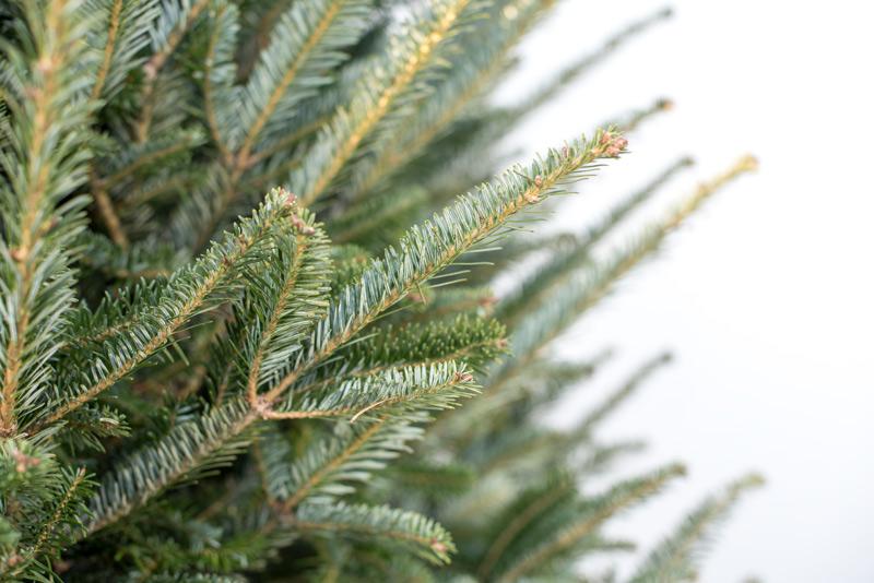 Fraser Fir, Christmas Tree