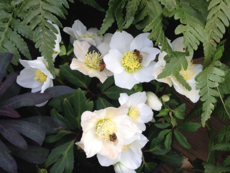 Hellebore, Perennial