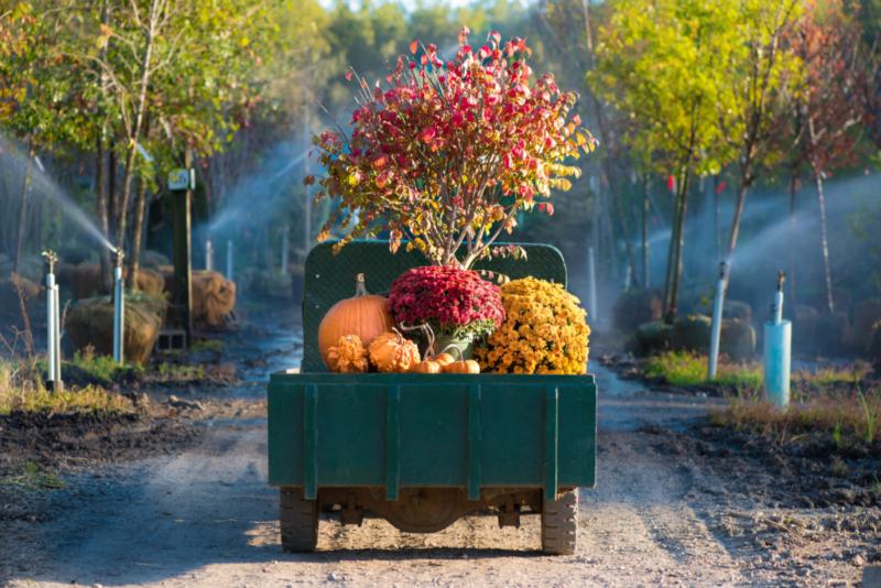 Burning Bush, Mums, Pumpkins