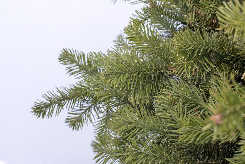 Noble Fir, Christmas Tree
