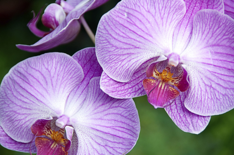 Orchid, Greenhouse Plant