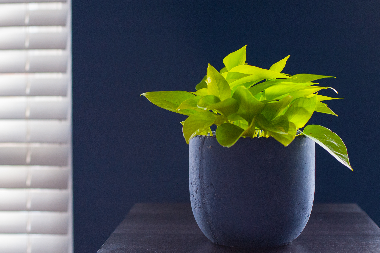 Pothos, houseplant, trailing, low light