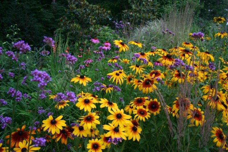 Pollinator Garden, Rudbeckia, Echibeckia