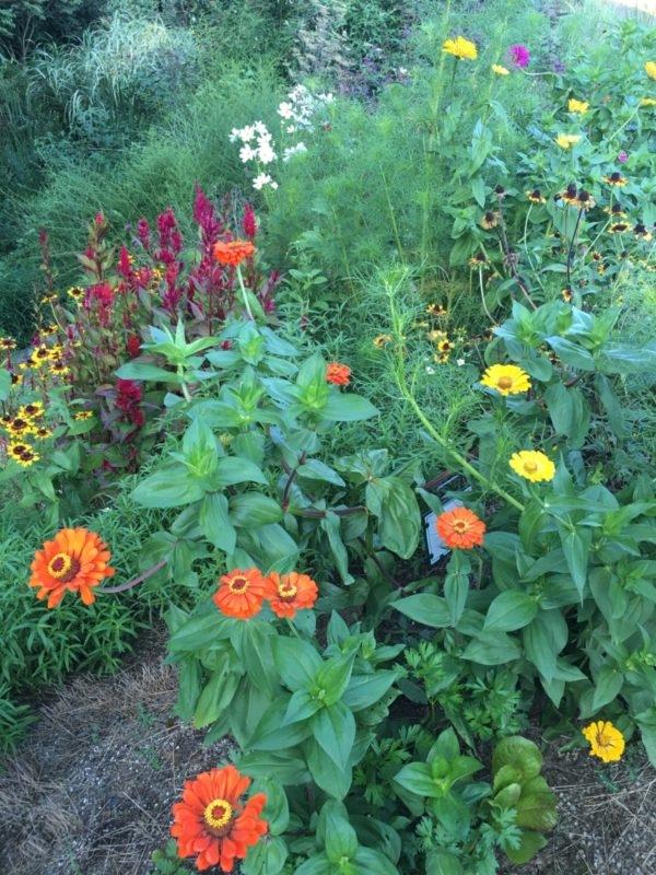 Zinnia, Celosia, Pollinator Garden