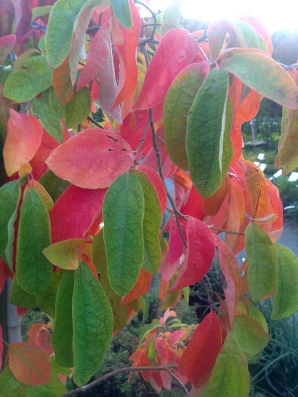 Sassafras Fall Foliage