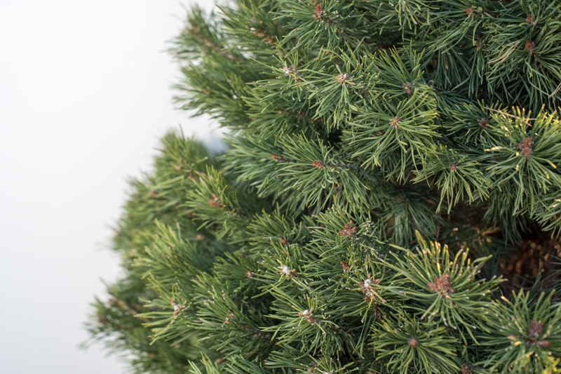 Scottish Pine, Christmas Tree