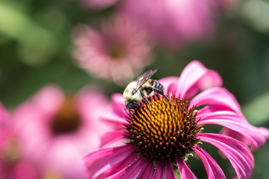 Coneflower and Bee, Native