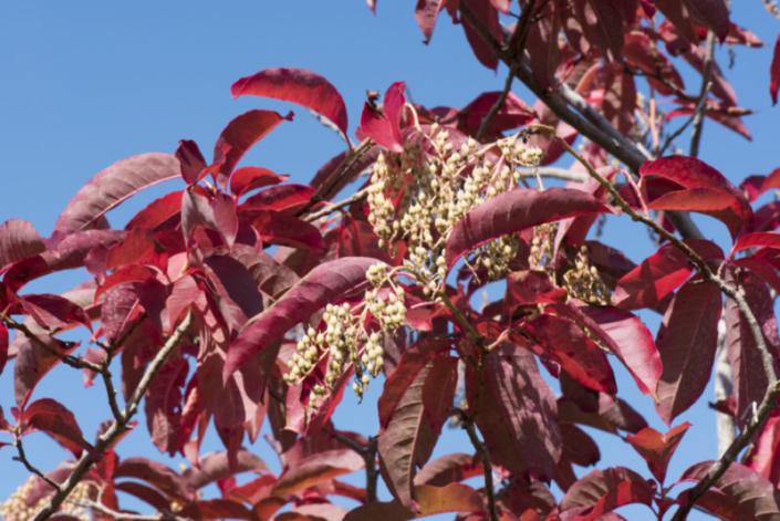 Sourwood Fall Foliage