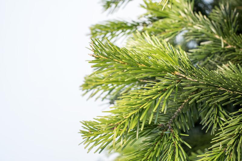 Turkish Fir, Christmas Tree