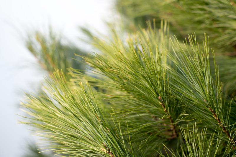 White Pine, Christmas Tree