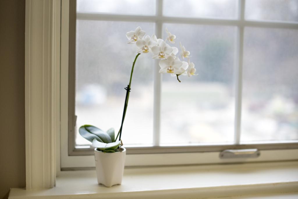 Orchid on Windowsill