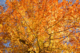 American Beech Fall Foliage