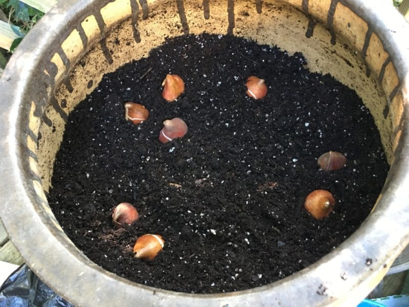 Bulb Basics: Planting Bulbs in Containers - Merrifield