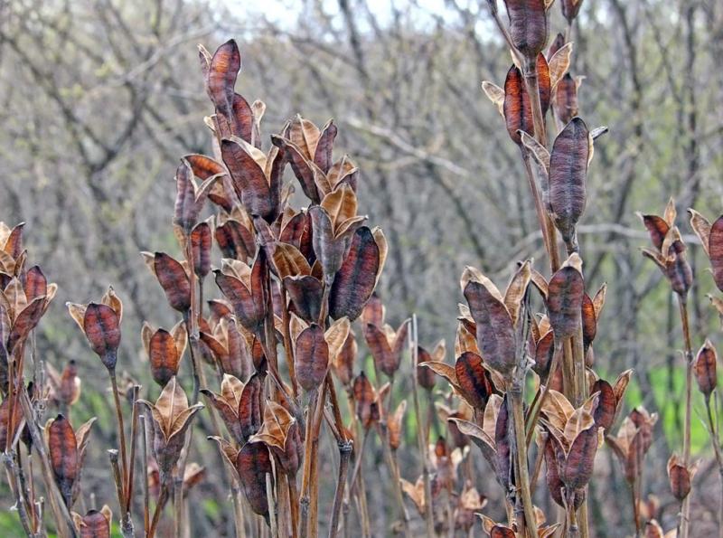 Siberian Iris Seed Pods