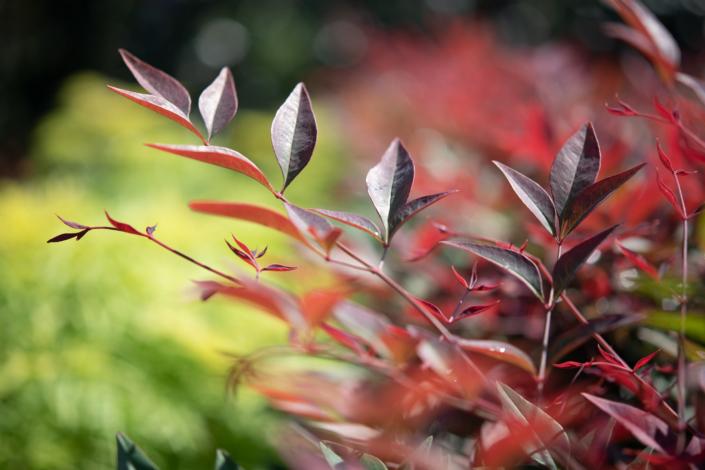 Nandina, Fall Foliage