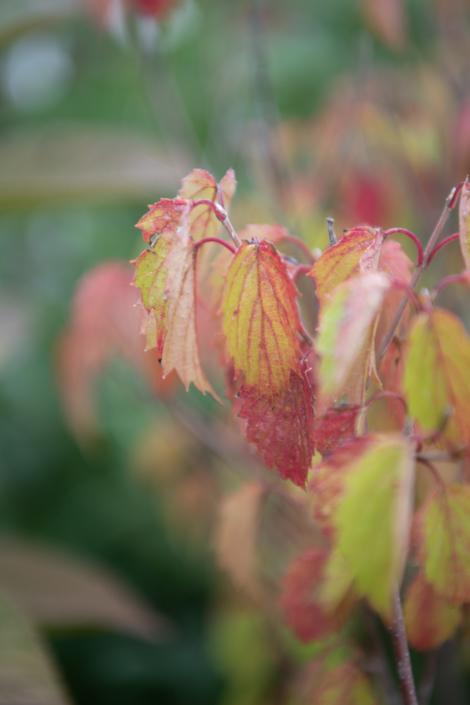 Viburnum, Fall Foliage