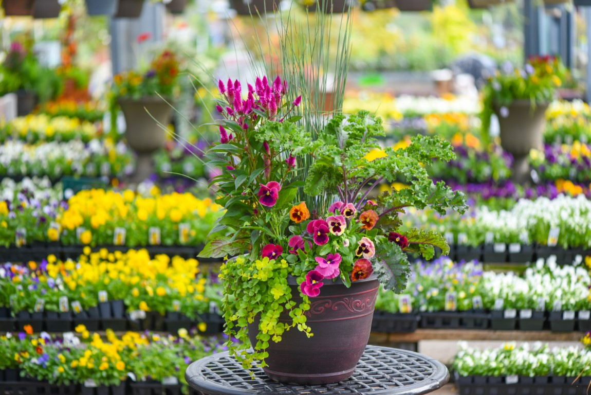 Transitional Fall to Winter Container with Juncus, Ornamental Kale, Pansies, Celosia and Creeping Jenny