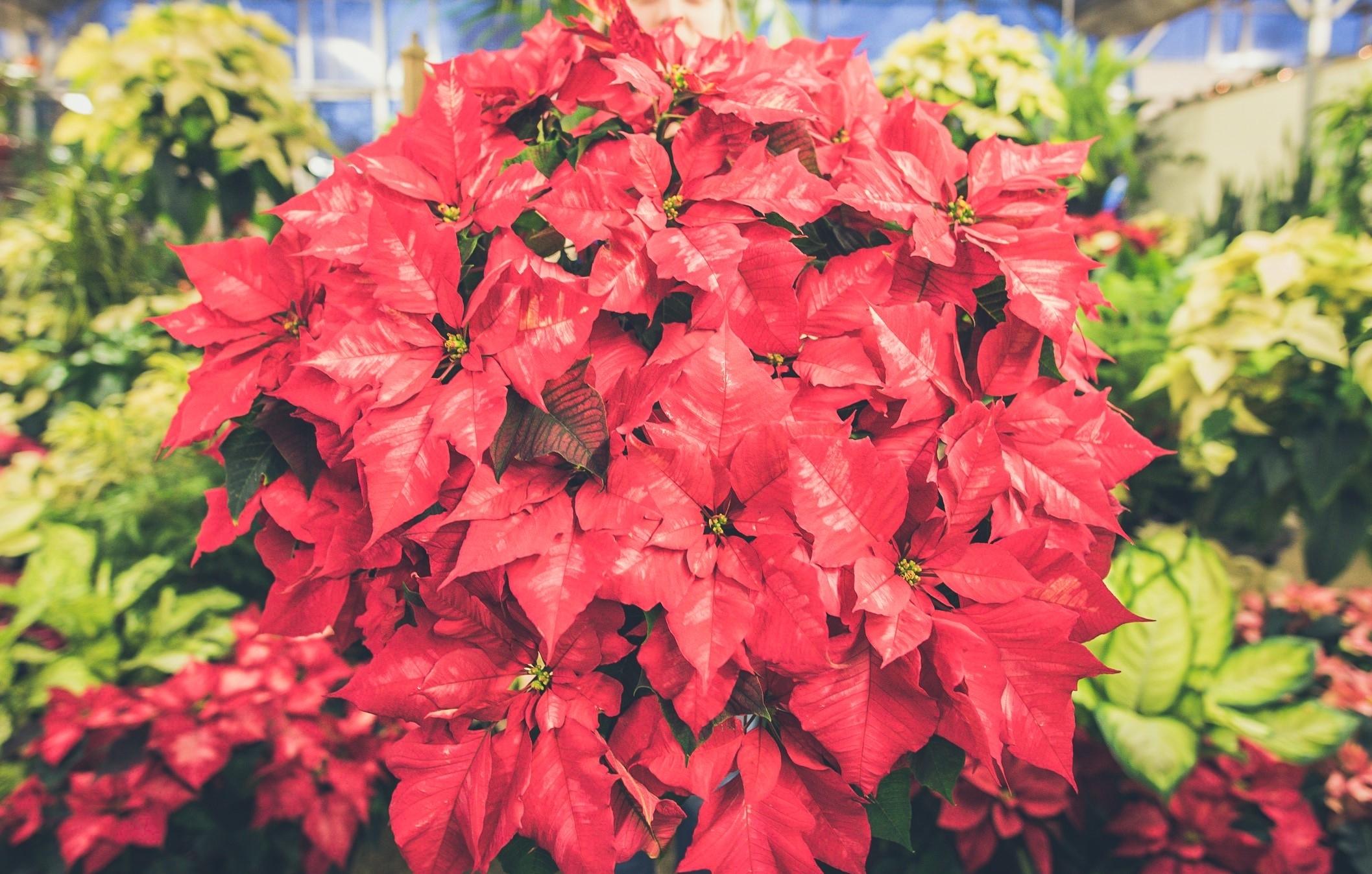 Poinsettia, Holiday