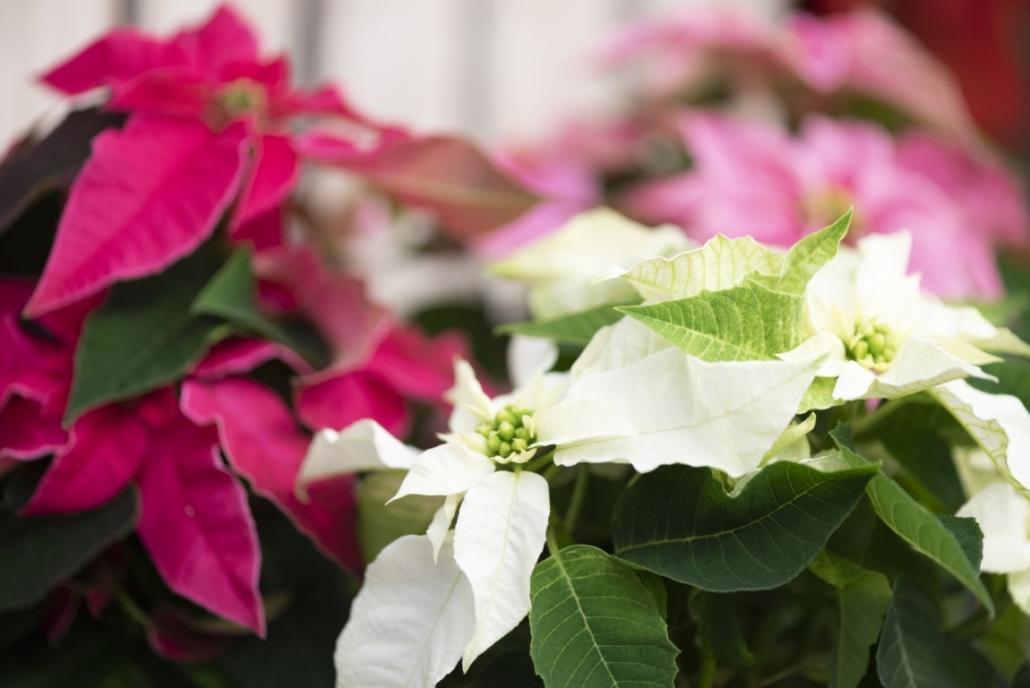 Poinsettias, Christmas Shop, Holiday