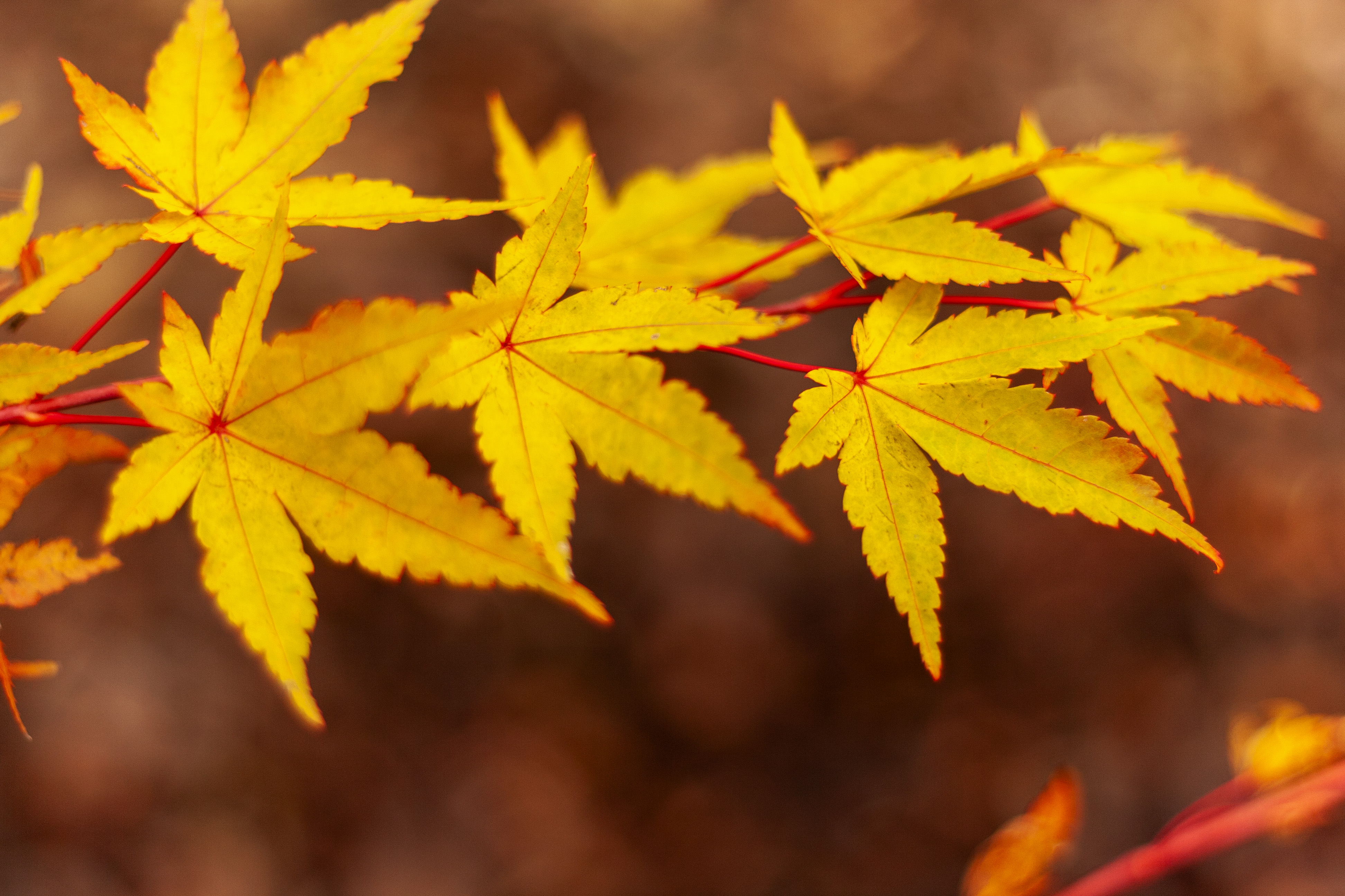 Japanese Maple, Fall Foliage