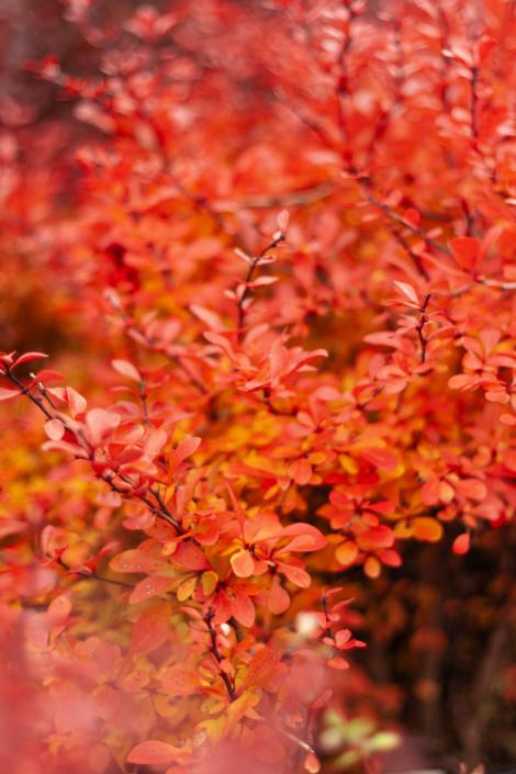 Barberry, Fall Foliage