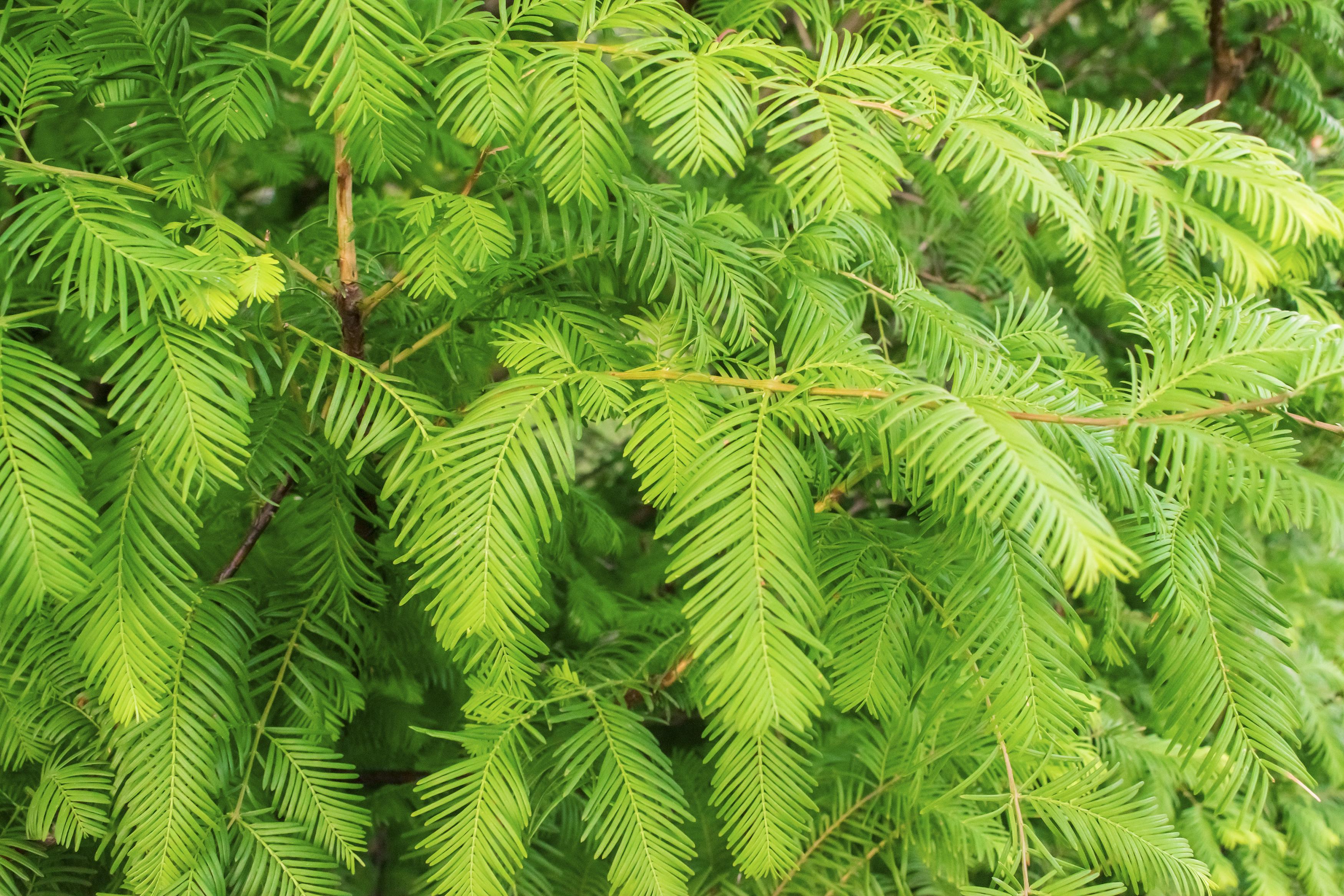 Low Maintenance Plants Trees And Shrubs Merrifield Garden Center
