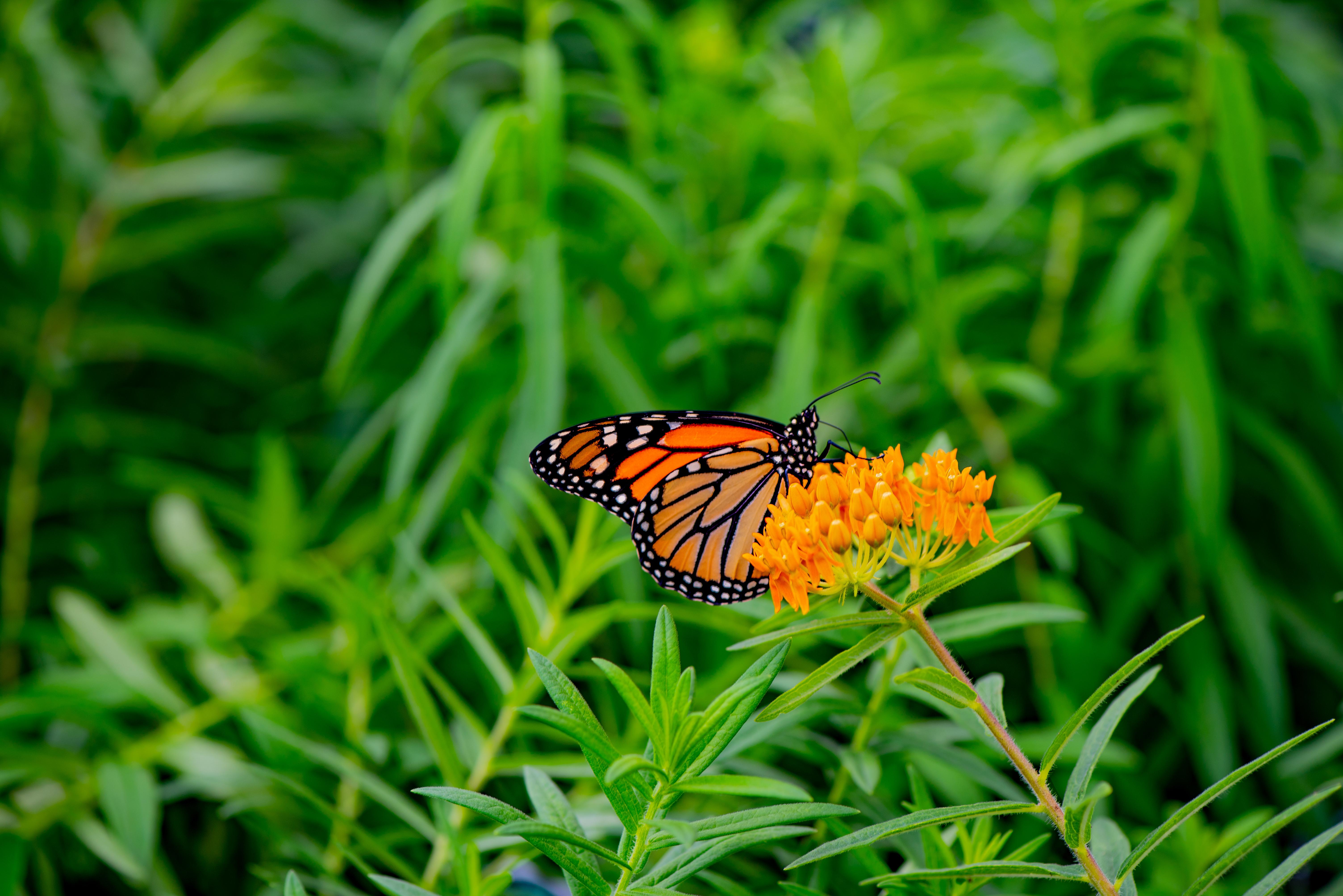 Monarch butterfly on milkweed, Asclepias tuberosa