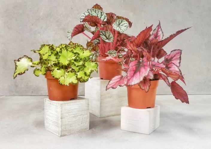 Rex Begonia, Greenhouse