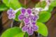 Streptocarpus, Greenhouse