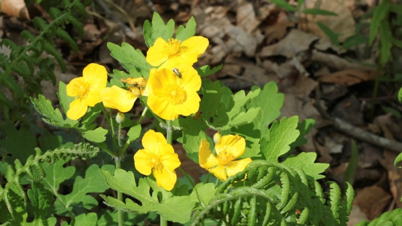 Wood Poppy, Native Perennial, ISTOCK