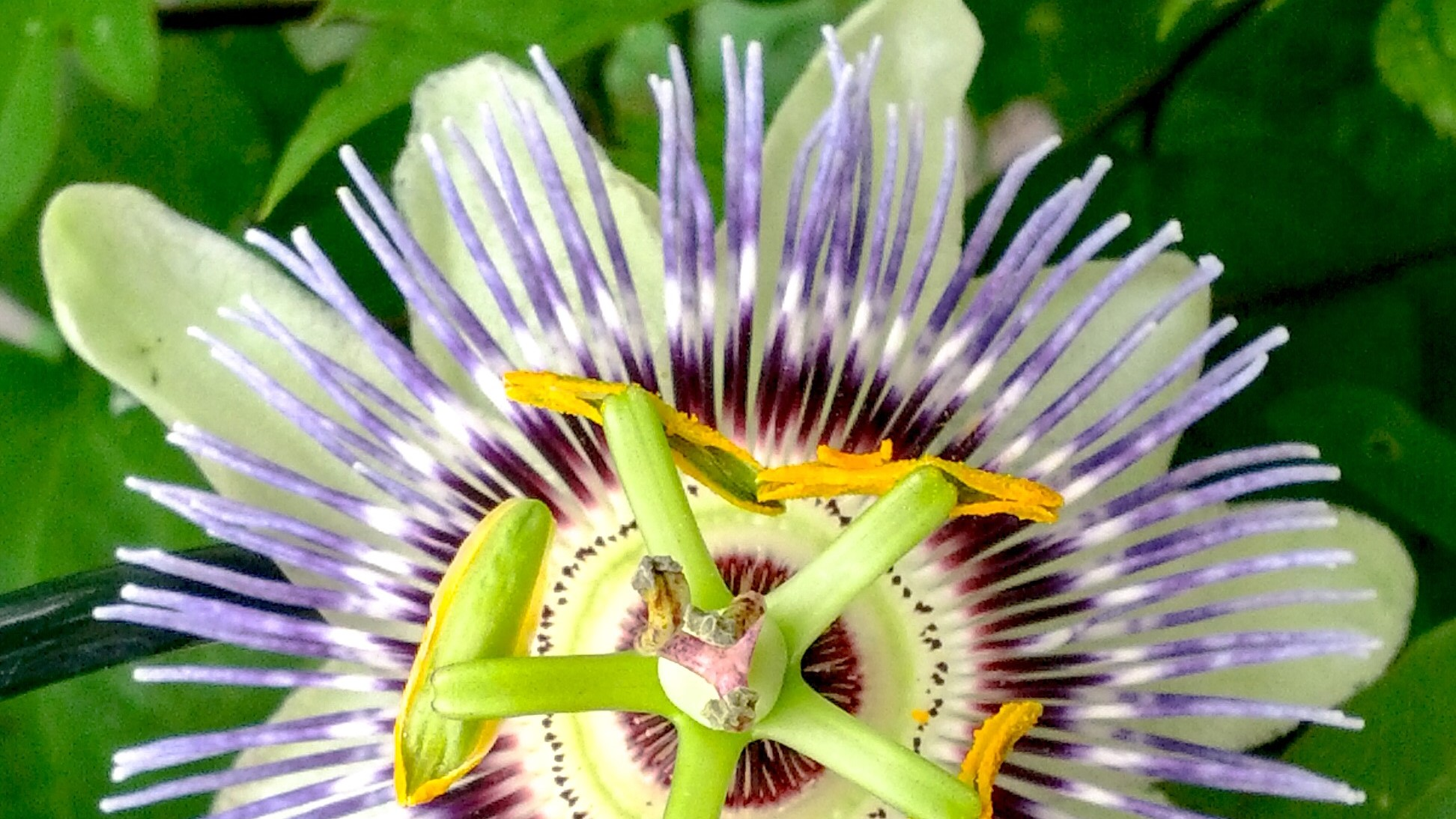 Passion Flower, Tropical