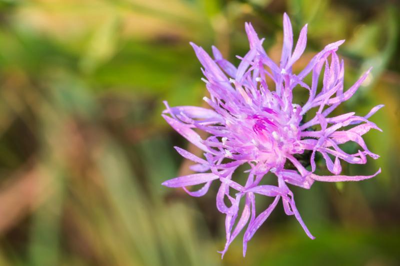 Purple Ironweed, ISTOCK