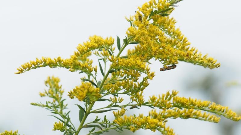 Solidago altissima, Tall Goldenrod, Pollinator, perennial