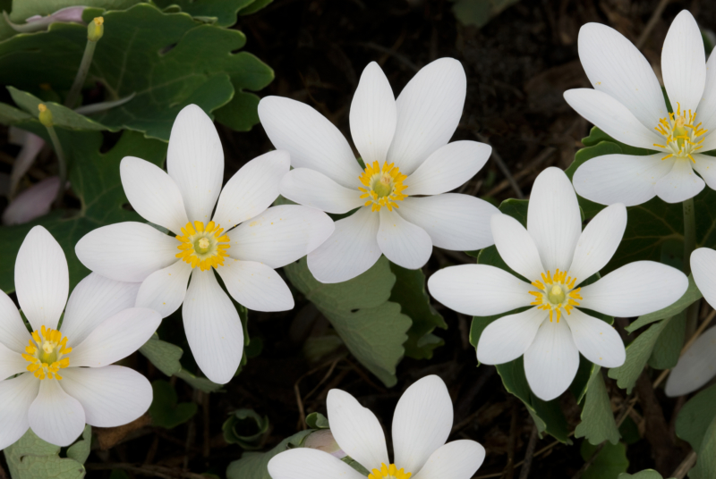 Bloodroot, Native Perennial, ISTOCK
