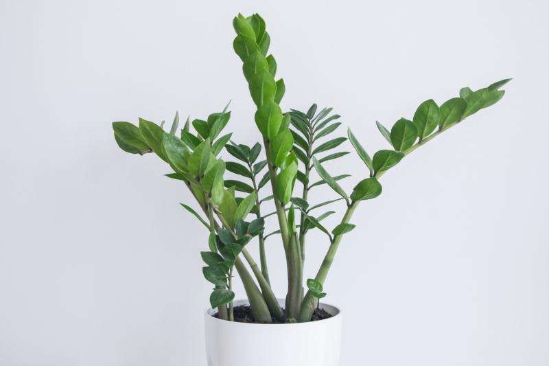 ZZ Plant ISTOCK