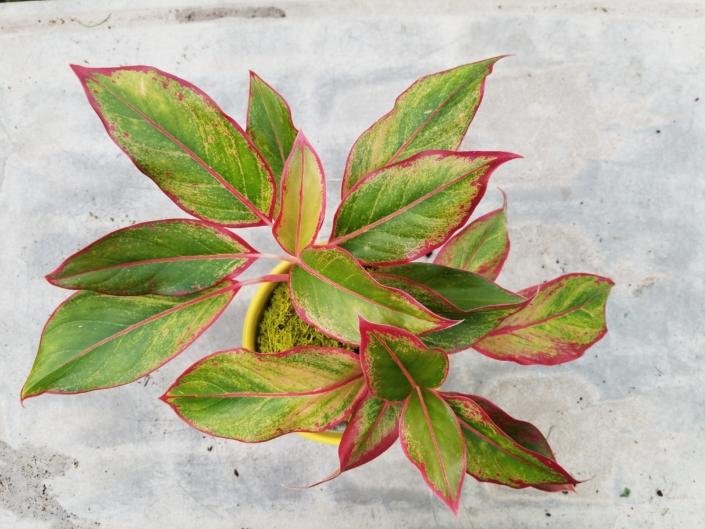 Chinese Evergreen, Greenhouse
