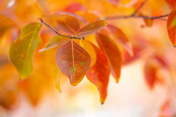 Crape Myrtle, Fall Foliage, Tree