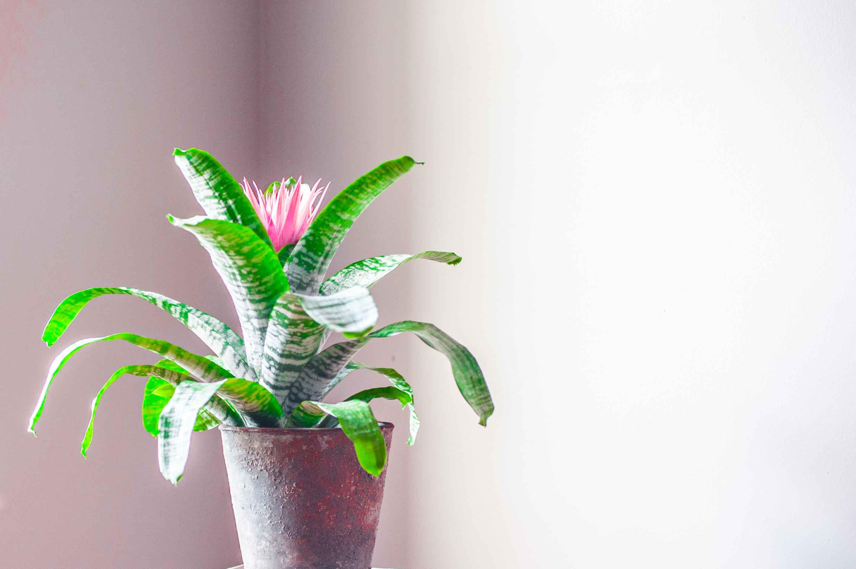 Bromeliad, Greenhouse