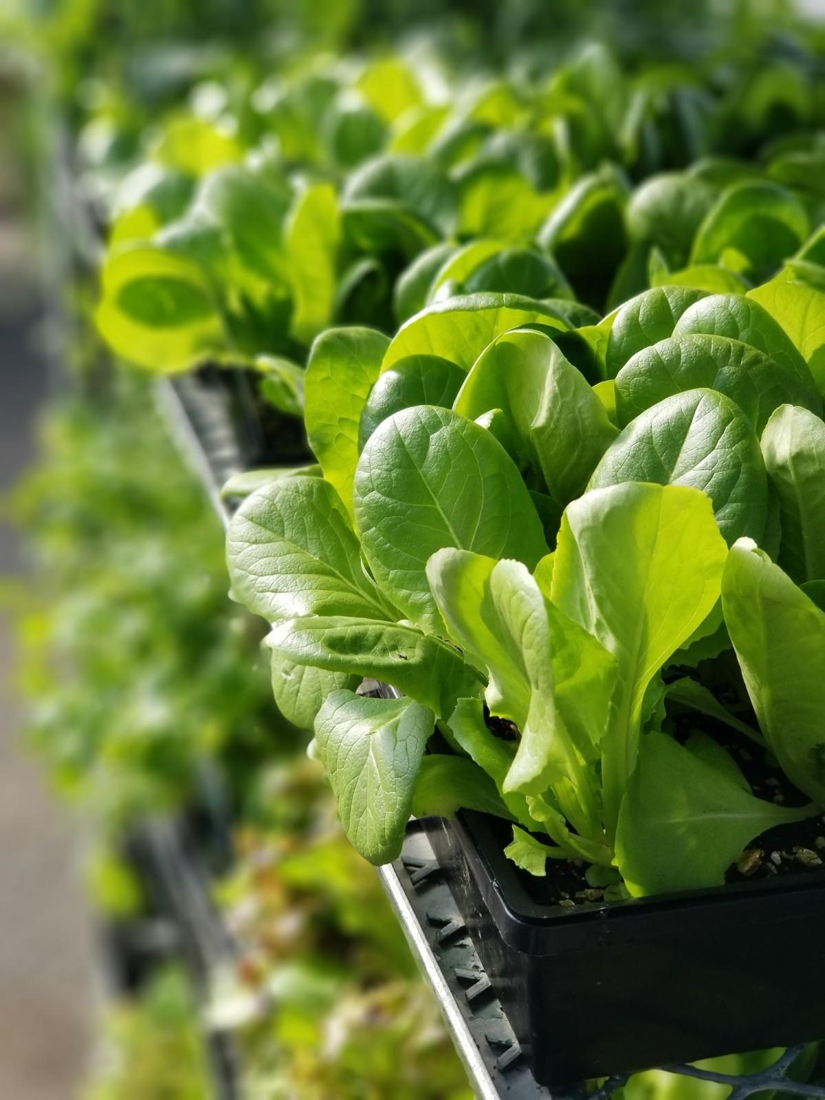 Lettuce, Cool Season Vegetable, Annual
