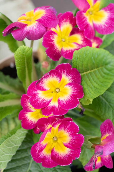 Primrose, sun to part sun, Annual