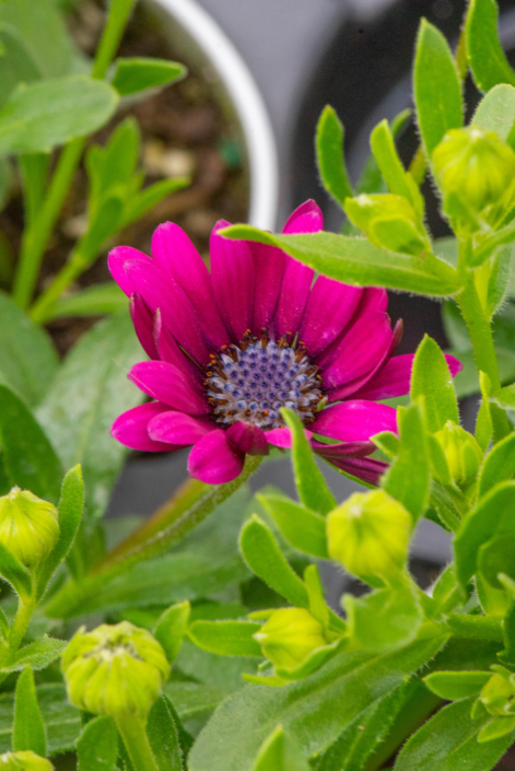 Osteospermum, Annual, part sun part shade