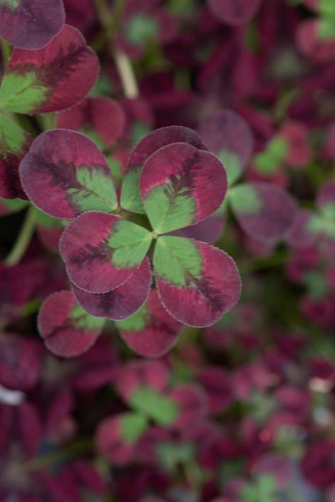Trifolium (Clover), Annual
