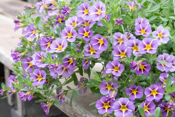 Calibrachoa, annual, sun