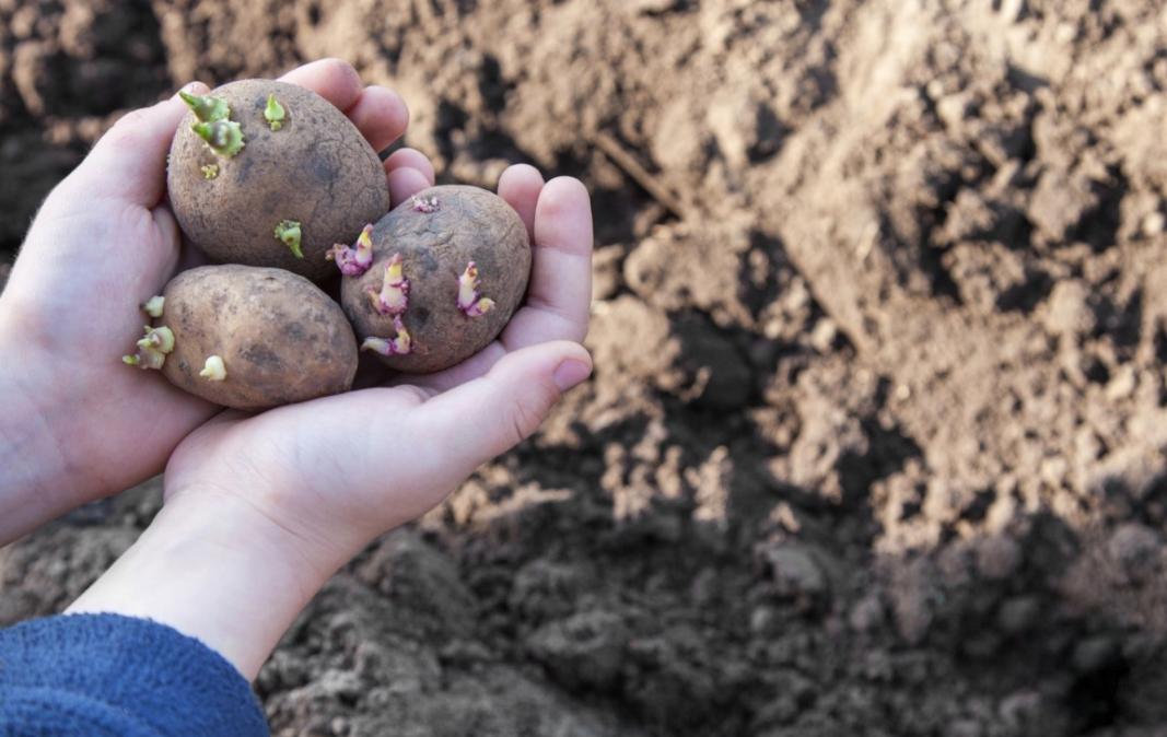 ISTOCK seed potatoes