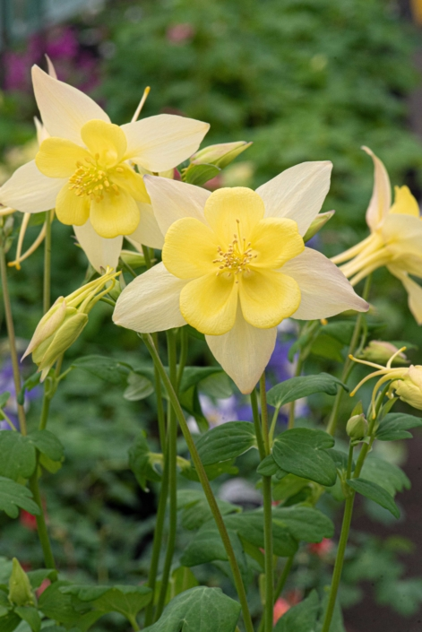 Aquilegia caerulea, Kirigami Mix, Columbine, Merrifield Garden Center