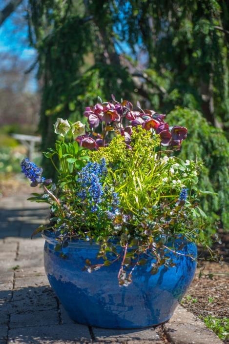 Spring Sun Container with Helleborus, Ajuga and Euphorbia
