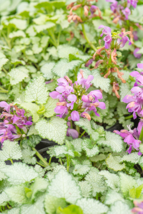 Lamium maculatum 'Orchid Frost', Deadnettle, perennial, shade to part shade, deer resistant, groundcover, Merrifield Garden Center