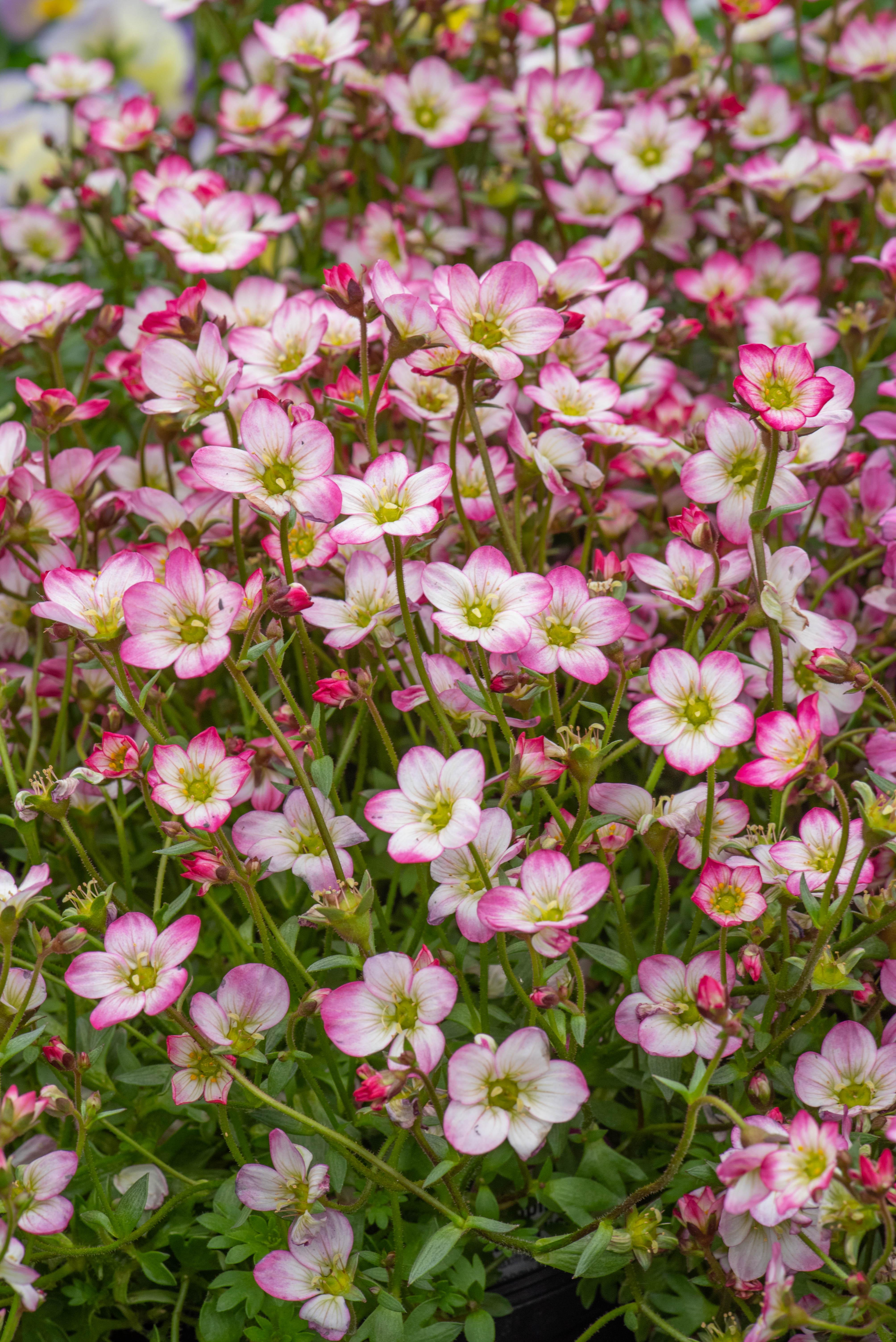 Saxifraga x arendsii 'Alpino Early Picotee', Mossy Saxifrage, sun to part sun, perennial, Merrifield Garden Center