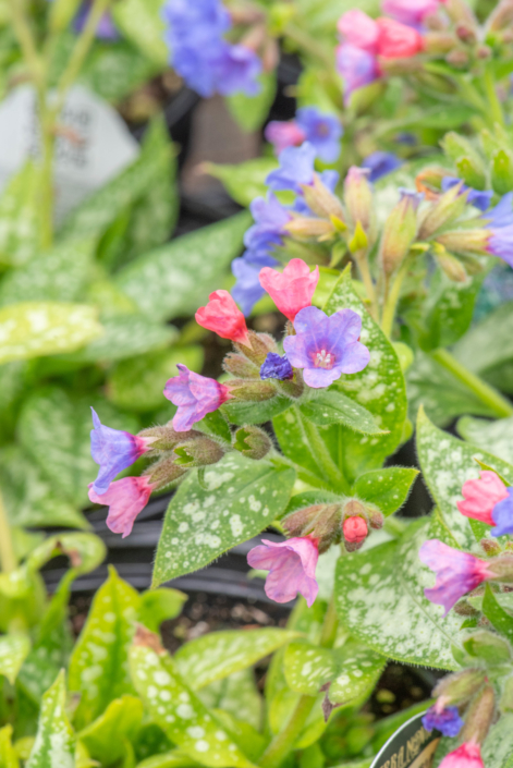 Pulmonaria 'Trevi Fountain', lungwort, perennial, part shade, Merrifield Garden Center